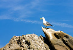 Seagull on stone Stock Images