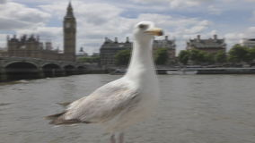 Seagull on a stone fence. Big Ben Tower. London. England. United Kingdom. Architecture and details of the city stock footage