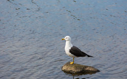 Seagull on stone Royalty Free Stock Photography
