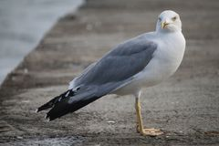 Seagull on a stone pier in Odessa Stock Photography