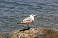 Seagull on stone Royalty Free Stock Images