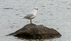 Seagull on stone in water. Seagull on stone in sea water Royalty Free Stock Photography