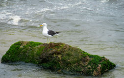 Seagull on stone in water. Seagull on stone in sea water Royalty Free Stock Photo