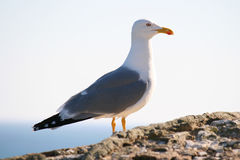 Seagull on stones Royalty Free Stock Photo