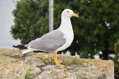 Seagull on stones in Nessebar stock images