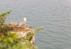 Seagull on stony coast near etretat in the North of France Royalty Free Stock Photography