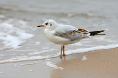 Seagull stood on beach Royalty Free Stock Photos