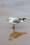 Seagull stood on beach Royalty Free Stock Photo
