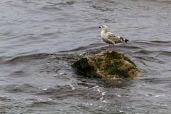 Seagull stood on a wet rock. Seagull stood on a wet rock, in the sea, on Scarborough north bay Stock Photos