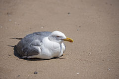 A seagull stop to rest on the beach Stock Images
