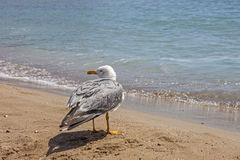 A seagull stop to rest on the beach Stock Photos