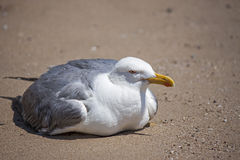 A seagull stop to rest on the beach Royalty Free Stock Photo