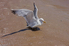 A seagull stop to rest on the beach Royalty Free Stock Images