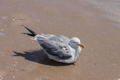 A seagull stop to rest on the beach Royalty Free Stock Image