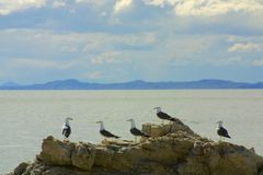 Seagull story time. Four seagulls (right) listen to one seagull talk (left) on Antelope Island in the Great Salt Lake near Syracuse, Utah Royalty Free Stock Image