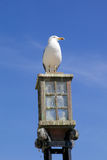 Seagull on a street lamp Royalty Free Stock Photo