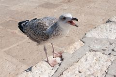 Seagull is struggling for a food. At the seaside in Croatia stock photography
