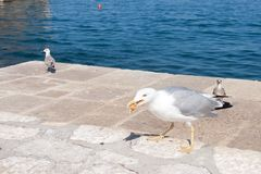 Seagull is struggling for a food. At the seaside in Croatia royalty free stock images
