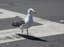 Seagull Struts across Street Crossing Stock Photography