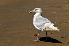 Seagull Struttiing Jego materiał Zdjęcie Stock