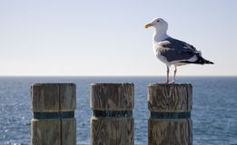 Seagull on a Stump 2 Royalty Free Stock Photos