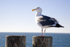 Seagull on a Stump 4 Stock Photos
