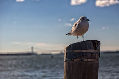 Seagull on stump. During autumn cold Royalty Free Stock Photo