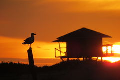 Seagull in stunts sunrise on the beach Stock Photos