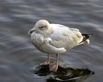 Seagull, on submerged rock, in river royalty free stock image