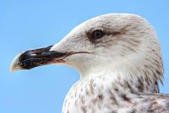 Seagull in summer Croatia Istria Adriatic sea Stock Photos