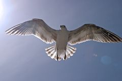 Seagull in the sun. A seagull flying with sun behind royalty free stock images