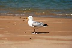 Seagull sunbathing na plaży Obrazy Royalty Free