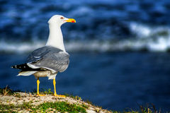 Seagull in sunlight on the shore near the sea Stock Image