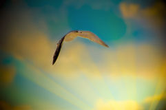 Seagull in sunrays. A seagull flying through the sunrays in a blue and yellow sky Royalty Free Stock Images