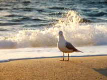 Seagull at Sunrise. A seagull walks Palm Beach at sunrise Royalty Free Stock Photography