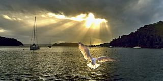 Seagull at Sunrise with Crepuscula Rays. Bright crepuscular sunrise over water with a Silver Gull in the foreground Royalty Free Stock Image