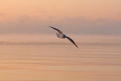Seagull on sunset Royalty Free Stock Image