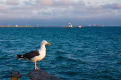 Seagull at Sunset Stock Image
