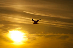 Seagull sunset Royalty Free Stock Photos