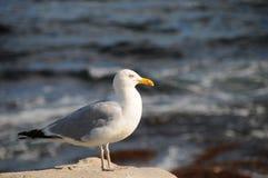 Seagull in sunset Stock Photos