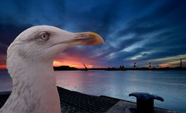 Seagull and sunset Royalty Free Stock Photo