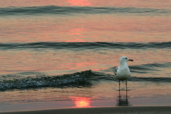 Seagull at sunset. Seagull standing in sand at the edge of the waves which are pink from the setting sun Stock Photos