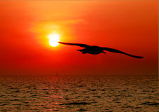 Seagull with sunset Royalty Free Stock Photo