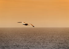 Seagull at sunset. A seagull at sunset, post-processed with warm tones Stock Photos