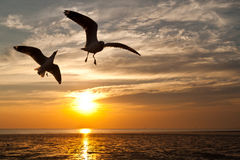 Seagull with sunset. In the background Royalty Free Stock Photography