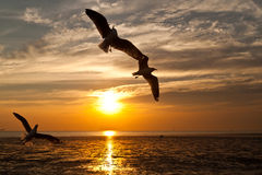 Seagull with sunset. In the background Royalty Free Stock Photo