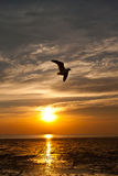 Seagull with sunset. In the background Stock Image