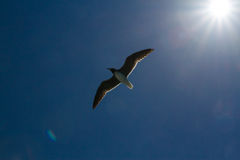 Seagull with sunset in the background Royalty Free Stock Images
