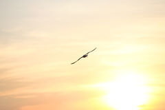 Seagull with sunset in the background Stock Photo