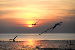 Seagull with sunset in the background Royalty Free Stock Image